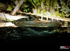 Animals Crocodile en mode veille