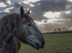 Animals jeune percheron