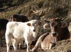 Animaux Les jolies vaches d'espagne