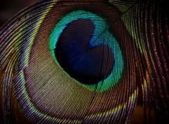 Animaux plume de paon