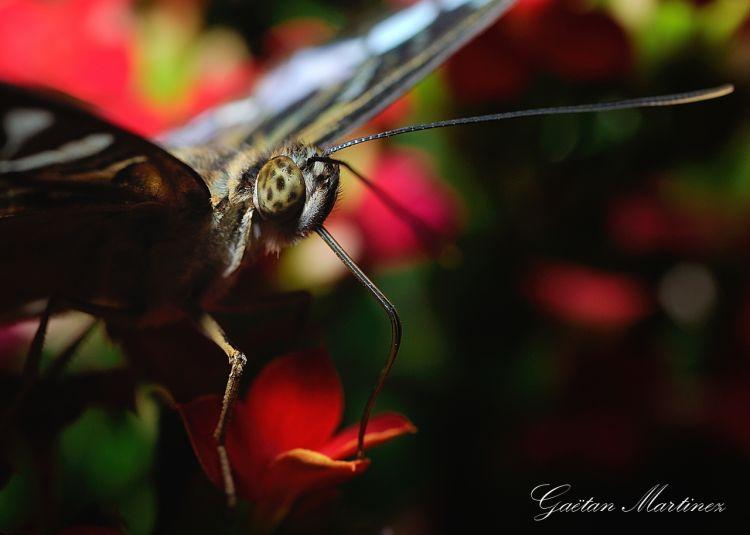 Fonds d'écran Animaux Insectes - Papillons Papillons d'Hunawhir