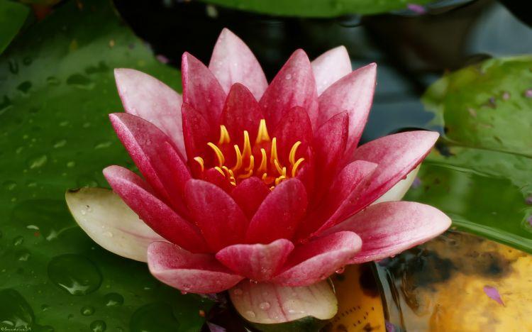 Fonds d'écran Nature Fleurs Nénuphar