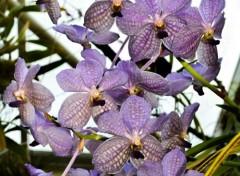 Nature Orchidées grappes violines