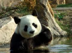 Animaux Panda