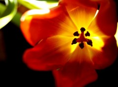 Nature Tulipe