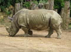 Animals Rhinocéros blanc
