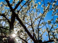 Nature Bientôt le temps des cerises