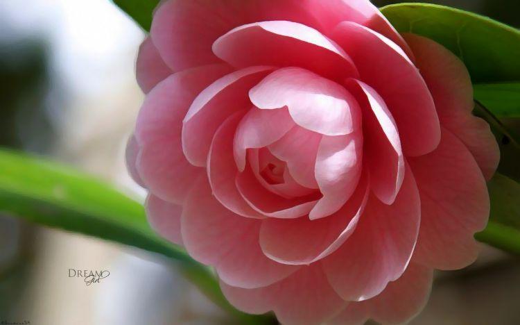 Fonds D Ecran Nature Fonds D Ecran Fleurs Camelia Du Japon Par