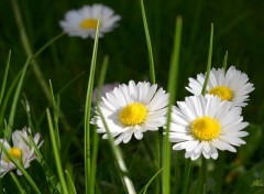 Nature Marguerite