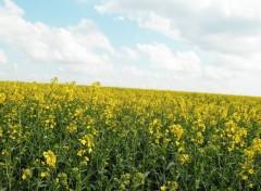 Nature champs de colza