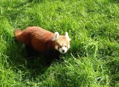 Animaux Petit Panda Roux