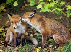 Animaux Foxes play