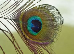Animals plume de paon :)