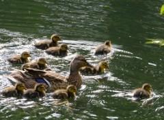 Animaux Maman canard et ses petits