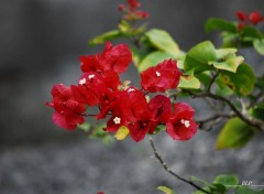 Nature Bougainvillier