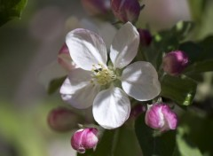 Nature Pommiers en fleurs