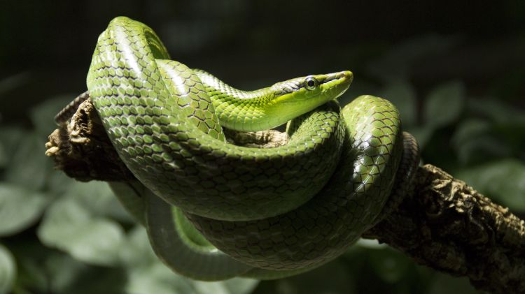 Fonds d'écran Animaux Serpents Serpent Vert