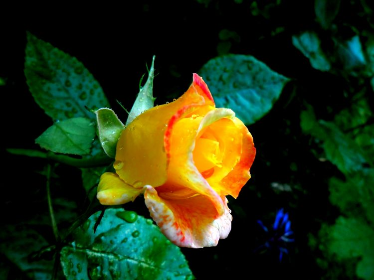 Fonds d'écran Nature Fleurs Rose jaune