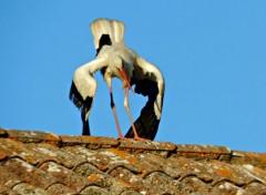 Animaux Cigognes a Faro