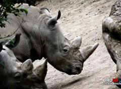 Animals Rhinocéros