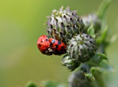 Animals coccinelles