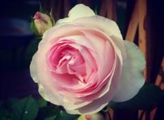 Nature Rosa