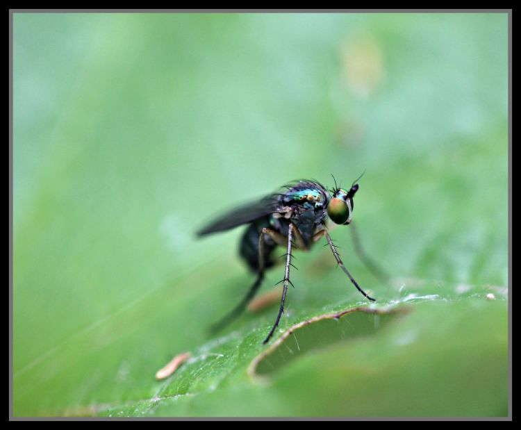 Wallpapers Animals Insects - Flies insecte