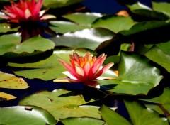 Nature fleurs et lotus
