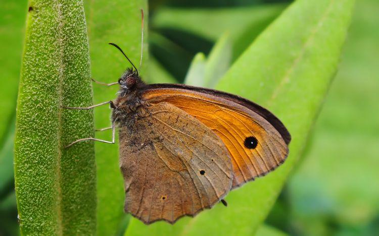 Fonds d'écran Animaux Insectes - Papillons Wallpaper N°348624