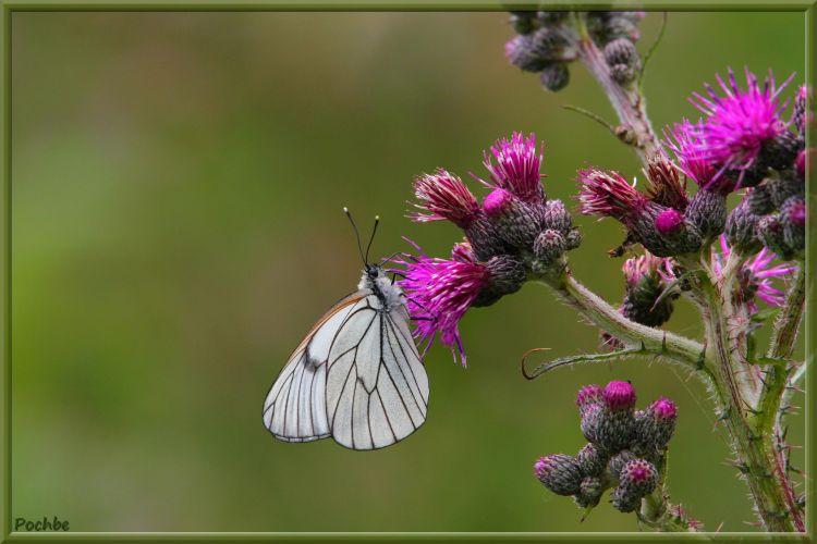 Fonds d'écran Animaux Insectes - Papillons Wallpaper N°349053