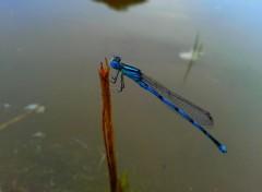 Animaux libellule bleue