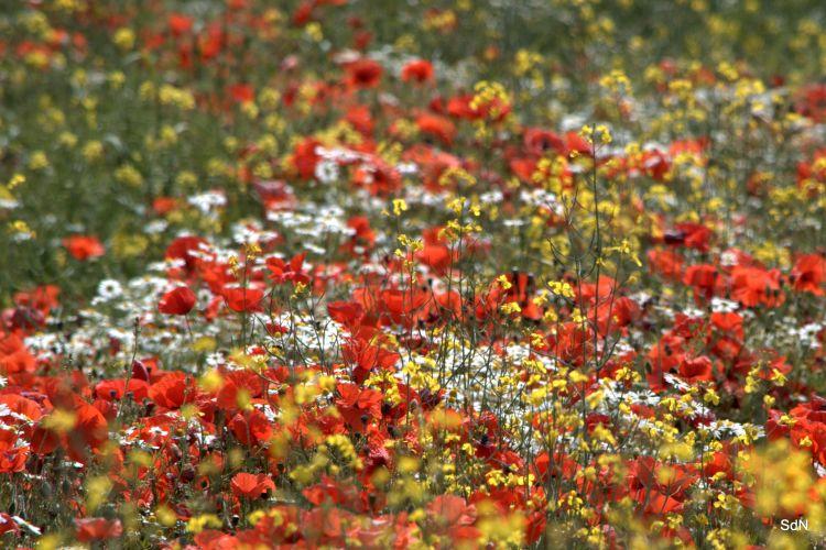 Fonds d'écran Nature Fleurs ENTRE LES DEUX CAPS (nord) LE COQUELICOT ET L INFINI