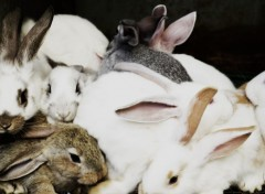 Animaux Lapin's