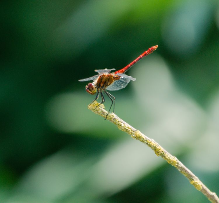 Wallpapers Animals Insects - Dragonflies Wallpaper N°352504