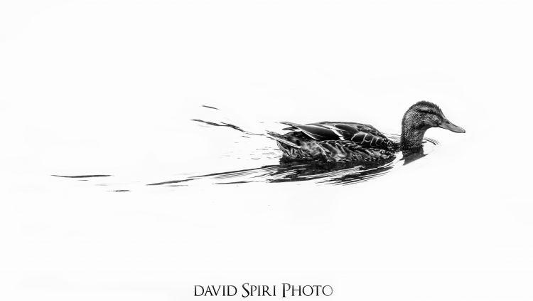 Fonds d'écran Animaux Oiseaux - Canards Black Duck