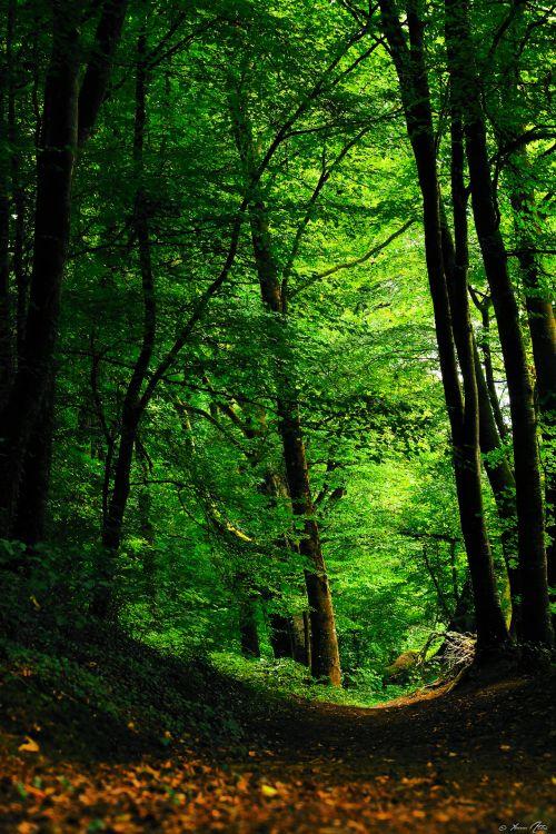 Fonds d'écran Nature Arbres - Forêts Green Forest