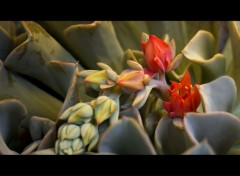 Nature ECHEVERIA RUNYONII