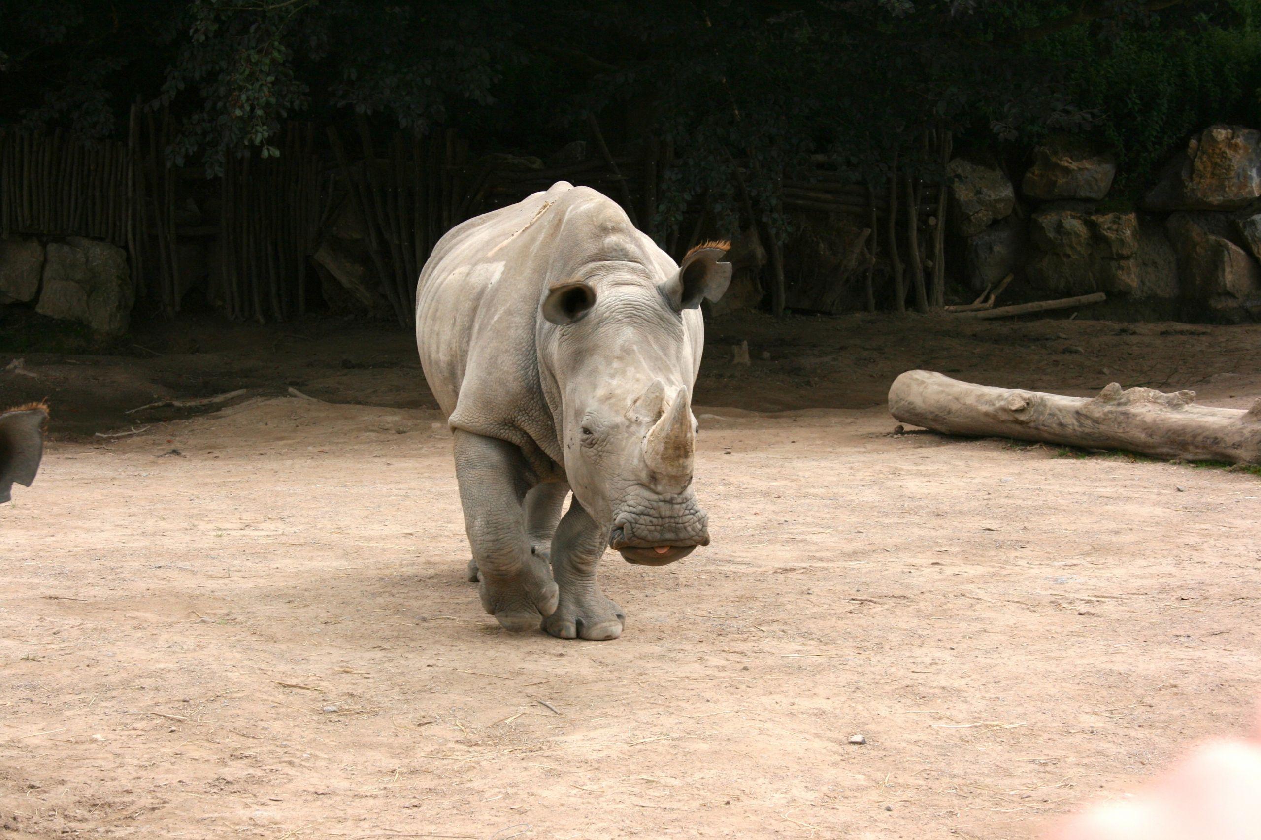 Wallpapers Animals Rhinoceros Rhinocéros