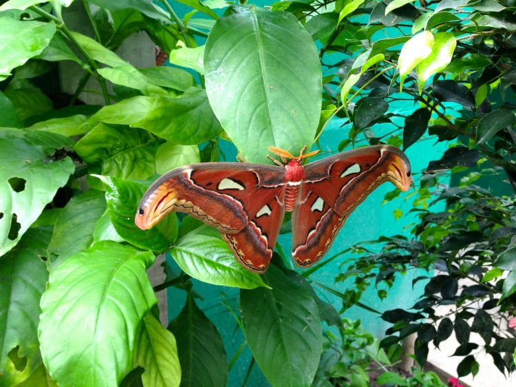 Wallpapers Animals Insects - Butterflies Attacus atlas (plus gros papillon du monde)