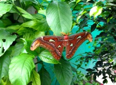 Animaux Attacus atlas (plus gros papillon du monde)