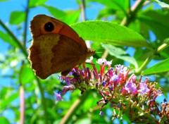 Animaux Papillon Myrtil
