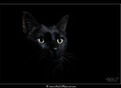 Animaux Chat noir - Anubis