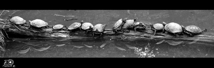 Wallpapers Animals Sealife - Sea turtles l'extase