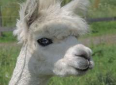 Animals Lama