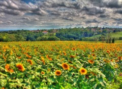 Nature Champs de tournesols