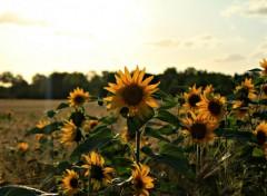 Nature Tournesol au coucher du soleil