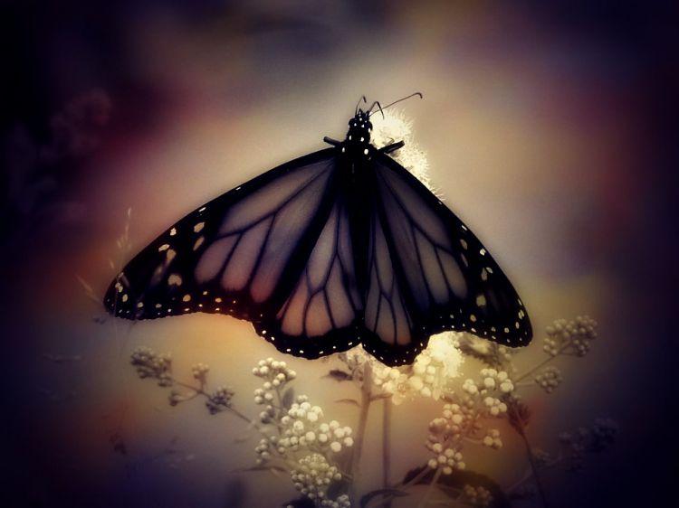Fonds d'écran Animaux Insectes - Papillons Wallpaper N°374980