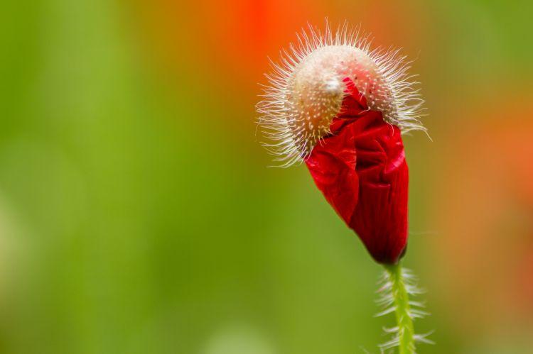 Fonds d'écran Nature Fleurs coquelicot