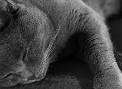 Animaux Chartreux