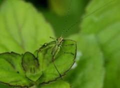 Animaux Phaneroptera nana bébé
